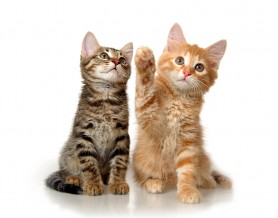 bigstock-Kittens-on-a-white-background-27939380-278x218